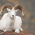 Dall Sheep Ram by Tim Grams
