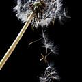 Dandelion Loosing Seeds by Garry Gay