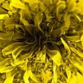Dandelion by Ryan Kelly