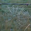 Dew On The Web by Douglas Barnett