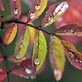 Dew On Wild Rose Leaves In Fall by Darwin Wiggett