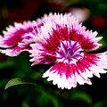 Dianthus by Rona Black