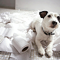 Dog Lying On Bathroom Floor Amongst Shredded Lavatory Paper by Chris Amaral