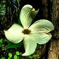 Dogwood Blossom I by Julie Dant