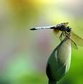 Dragonfly In Wonderland by Sabrina L Ryan