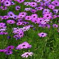 Dreaming Of Purple Daisies  by Carol Groenen