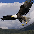 Eagle Flying In Sunlight by John Hyde - Printscapes