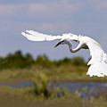 Egret Ballet by Mike  Dawson