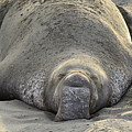 Elephant Seal 3 by Bob Christopher