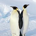 Emperor Penguins, Weddell Sea by Joseph Van Os