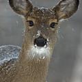 Female White-tailed Deer, Odocoileus by John Cancalosi