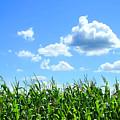 Field Of Corn In August by Sandra Cunningham
