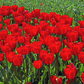 Field Of Red Tulips by Sharon Talson