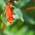 Firecracker Blossom by Douglas Barnett