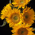 Five Sunflowers by Garry Gay