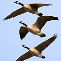 Flight Of Three Geese by Wingsdomain Art and Photography