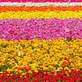Flower Fields Carlsbad Ca Giant Ranunculus by Christine Till