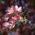 Flowering Pink Dogwood by Frank Mari