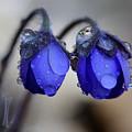 Flowers Fresh Rain Droplet by Romeo Koitmae
