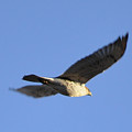 Flying Hawk II by Christopher Wood