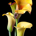 Four Calla Lilies by Garry Gay