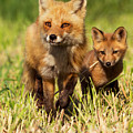 Fox Family by Mircea Costina Photography