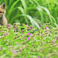 Fox In The Garden by Everet Regal