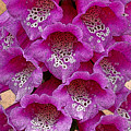 Foxglove by Diane E Berry
