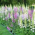 Foxglove Garden by Carol Groenen