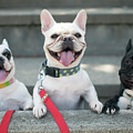 French Bulldogs by Tokoro