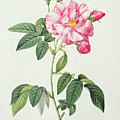 French Rose by Pierre Joseph Redoute
