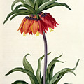 Fritillaria Imperialis by Pierre Joseph Redoute
