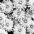 Garden Mums by Ryan Kelly