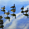 Geese Lake Reflections  by Randy Steele