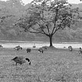 Geese On A Rainy Day by Bill Cannon