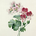 Geranium Variety by Pierre Joseph Redoute