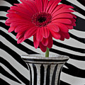 Gerbera Daisy In Striped Vase by Garry Gay