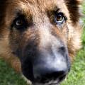 German Shepherd Dog by Fabrizio Troiani