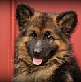 German Shepherd Puppy - Queena by Sandy Keeton
