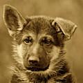 German Shepherd Puppy In Sepia by Sandy Keeton