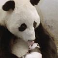 Giant Panda Ailuropoda Melanoleuca Xi by Katherine Feng