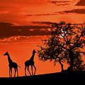 Giraffes At Sunset by Jaroslaw Grudzinski