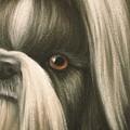 Goggie Shih Tzu by Karen Coombes