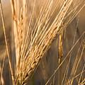 Golden Grain by Cindy Singleton