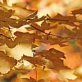 Golden Light Autumn Maple Leaves by Jennie Marie Schell