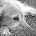 Golden Retriever Dog In The Cool Grass Monochrome by Jennie Marie Schell
