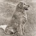 Golden Retriever Dog Sepia by Jennie Marie Schell