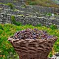 Grape Harvest by Gaspar Avila