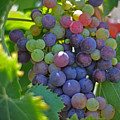 Grapes by Kelly Wade