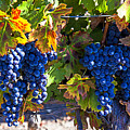 Grapes Ready For Harvest by Garry Gay